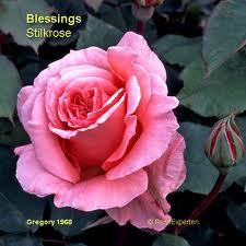 Blessing Rose